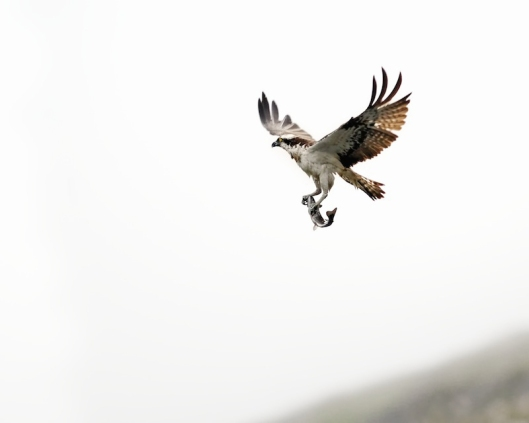 Osprey taking prey back to nest