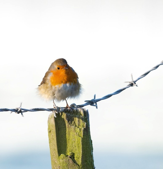 Winter Robin-1