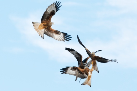 red kite sequence-1