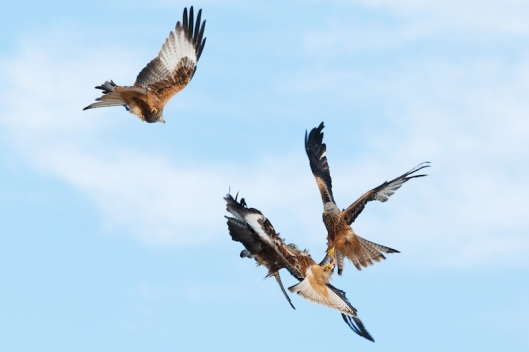 red kite sequence-2