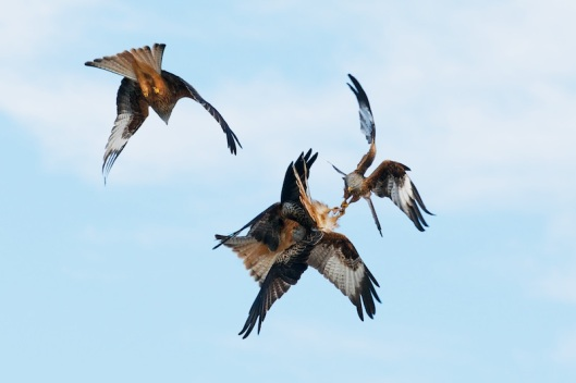 red kite sequence-3