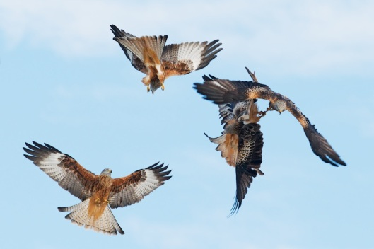 red kite sequence-4