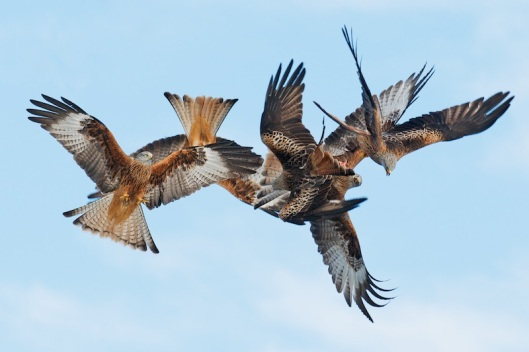 red kite sequence-5