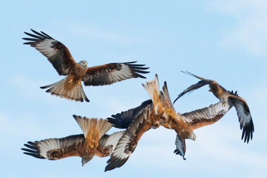 red kite sequence-6